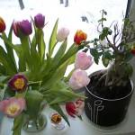 Тюльпаны и снег.