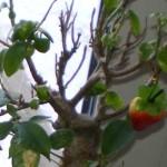 На фикусе выросла клубника.