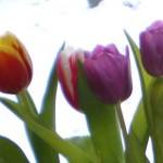 Фиолетовые тюльпаны.