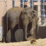 Слоны балуются.