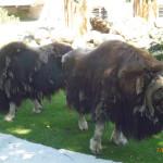 Мохнатые быки.
